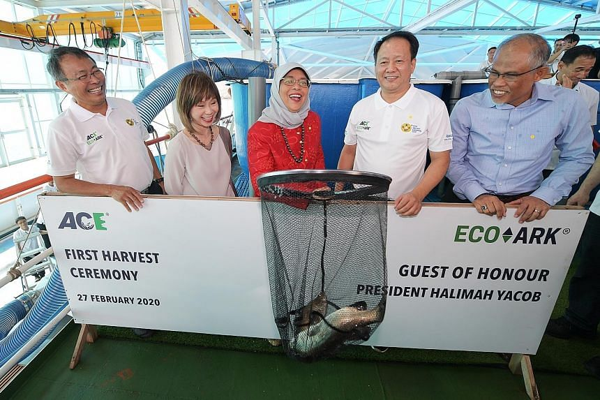 Local closed-containment offshore fish farm Eco-Ark reaped its first harvest yesterday in a ceremony witnessed by President Halimah Yacob. Joining her were (above, from left) Aquaculture Centre of Excellence (ACE) chief executive Leow Ban Tat, Senior