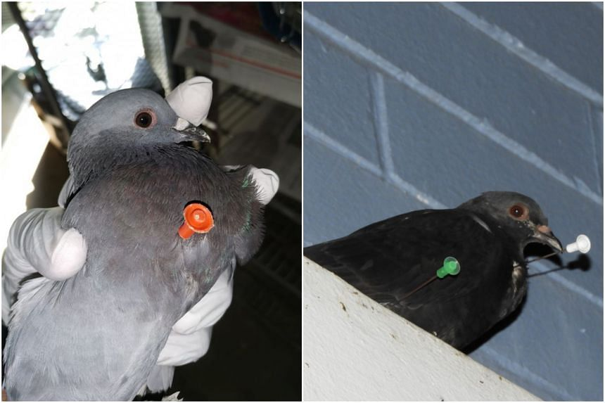 Acres officers at the scene also found a pigeon with two darts on its body (right), but it flew away before they could attend to the bird.
