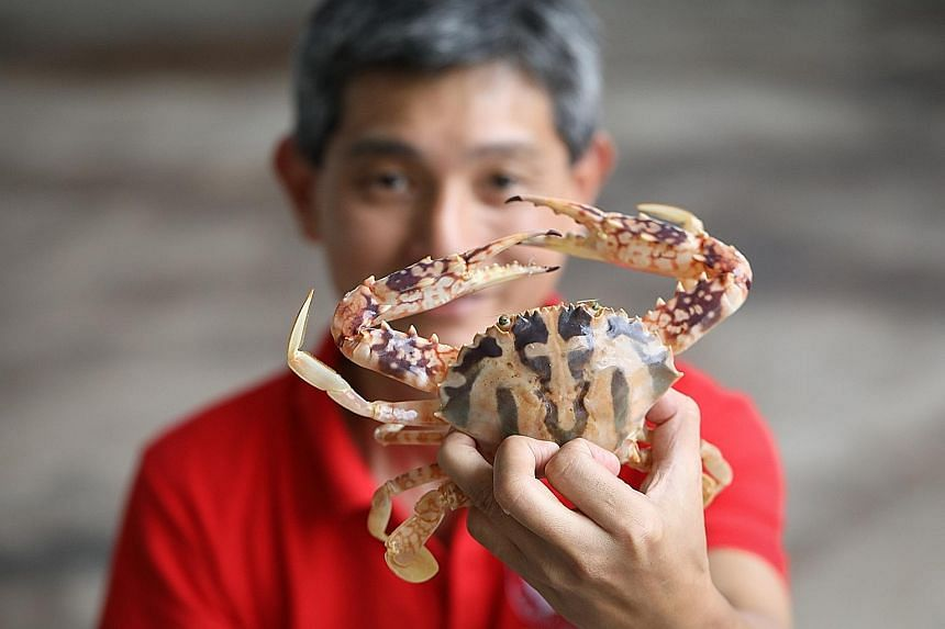 Crab Lovers Farm co-founder Sam Chua with the crucifix swimming crab, so called for the cross-shaped marking on its shell. The farm hopes to rear the rare crustacean in numbers with the help of technology.
