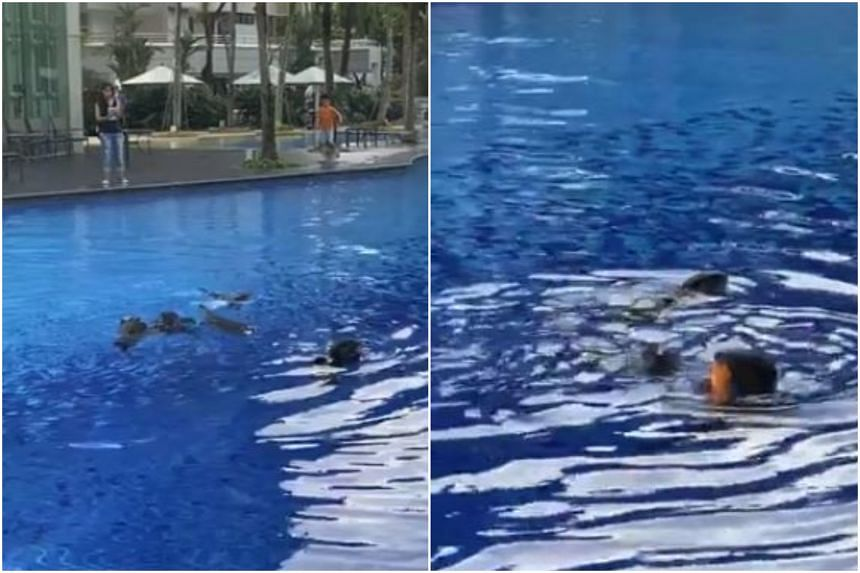 Residents at Park Infinia@Wee Nam condo were treated to an unusual sight over the weekend of otters frolicking in their condo pool which is more used to human swimmers.