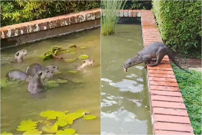 The otter family, which consists of five adults and three pups, got their name when they were sighted near the former Zouk site in Jiak Kim Street in the second half of 2018.
