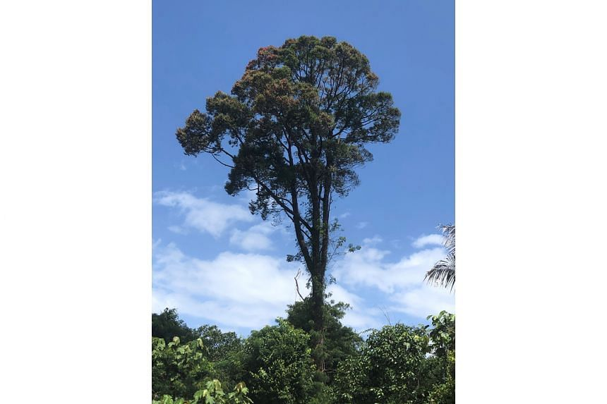 Tristaniopsis merguensis, Hopea ferruginea (above) and Cratoxylum cochinchinense are among native trees that will be planted in Singapore's One Million Trees movement. The initiative comes amid a resurgence in global awareness of the role of the humble tr