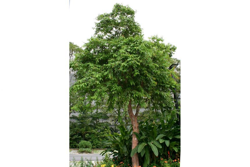 Tristaniopsis merguensis, Hopea ferruginea and Cratoxylum cochinchinense (above) are among native trees that will be planted in Singapore's One Million Trees movement. The initiative comes amid a resurgence in global awareness of the role of the humble tr