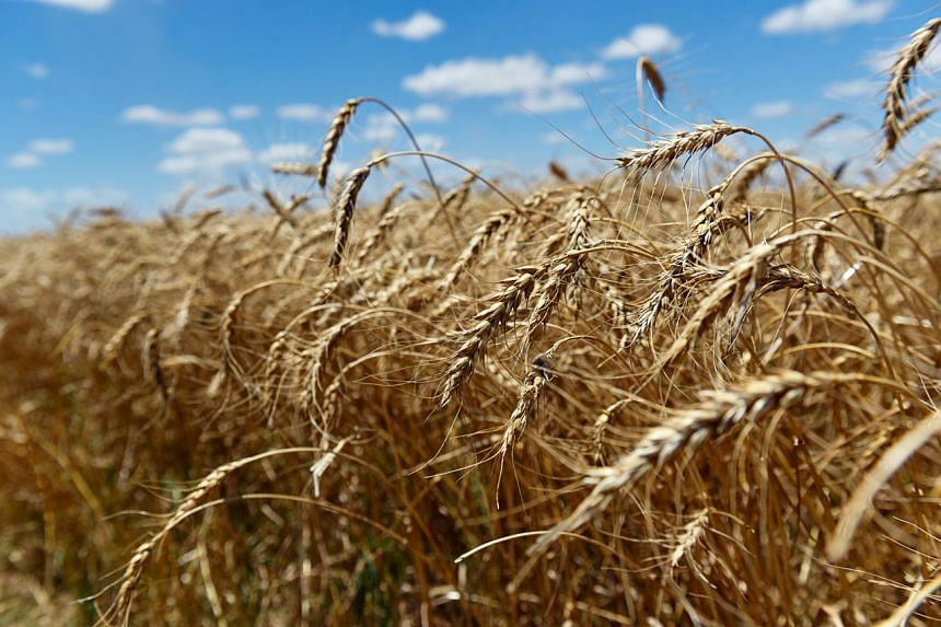 Field of ripe wheat ready for harvesting in Oklahoma, US, on June 12, 2019.