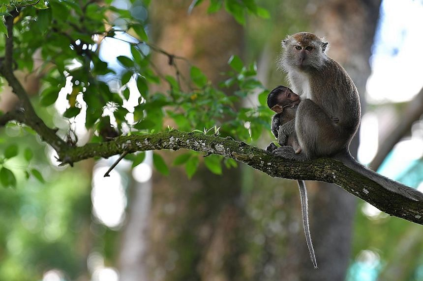 Wildlife consultant Subaraj Rajathurai, whom MP Louis Ng paid tribute to in his round-up speech in Parliament yesterday. Mr Subaraj died of a heart attack last October. A long-tailed macaque with its baby at Bukit Panjang park. Under the amended law,