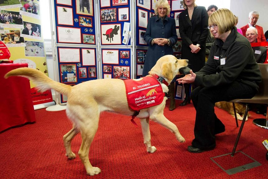 In a photo taken on Feb 20, 2013, Britain's Camilla, Duchess of Cornwall (centre), watches a display by a working dog as she visits Medical Detection Dogs (MDD) charity in Great Horwood, outside Milton Keynes, north of London.