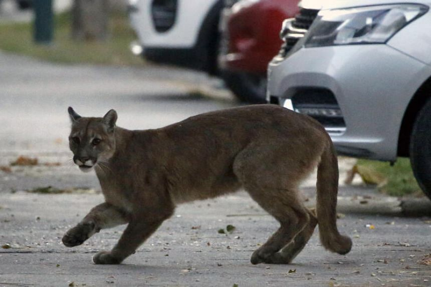 An approximately one-year-old puma seen in the streets of Santiago on March 24, 2020, which reportedly came down from the nearby mountains in search for food as less people are seen in the streets due to the coronavirus pandemic.