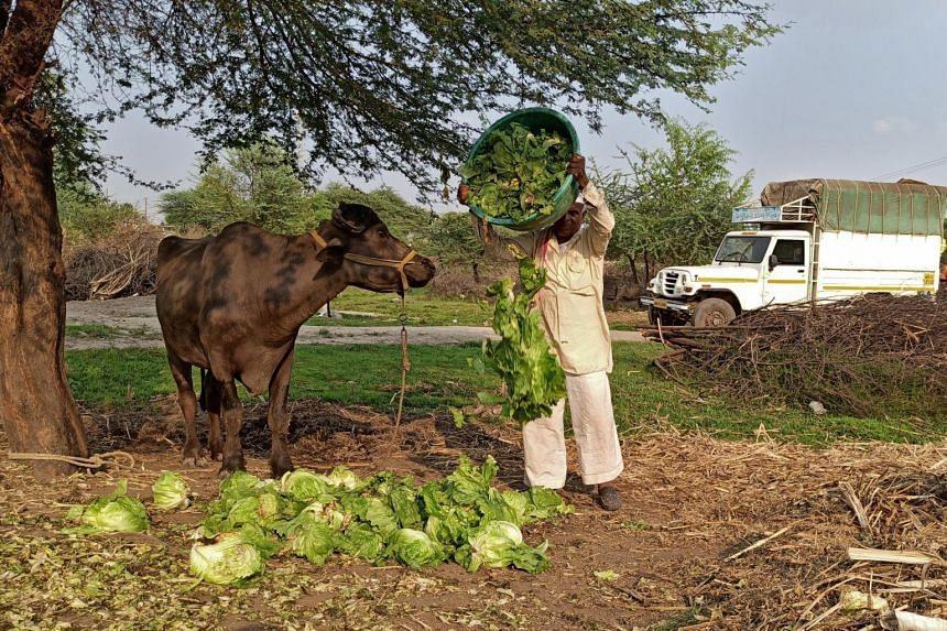 A farmer feeds iceberg lettuce to his buffalo at the Bhuinj village in Maharashtra, India, on April 1, 2020.