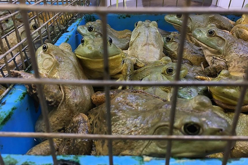 Live animals such as bullfrogs (above) and freshwater eels (below) displayed in overcrowded cages and containers last Tuesday at the wet market in the basement of Chinatown Complex. Customers can have the animals slaughtered for their meat at such we