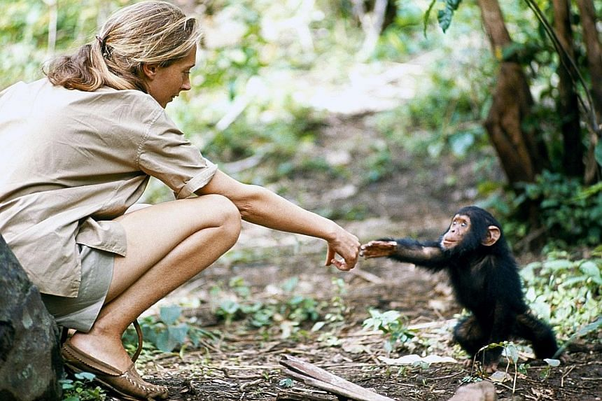 A young chimp named Flint reaches for primatologist Jane Goodall. Flint was the first infant born in Gombe, Tanzania, after Goodall's arrival.