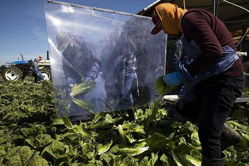 Farm labourers harvesting romaine lettuce on a machine with heavy plastic dividers that separate workers from one another on Monday in Greenfield, California. The authors say that the impact of Covid-19 is likely to be just a fraction of the anticipa