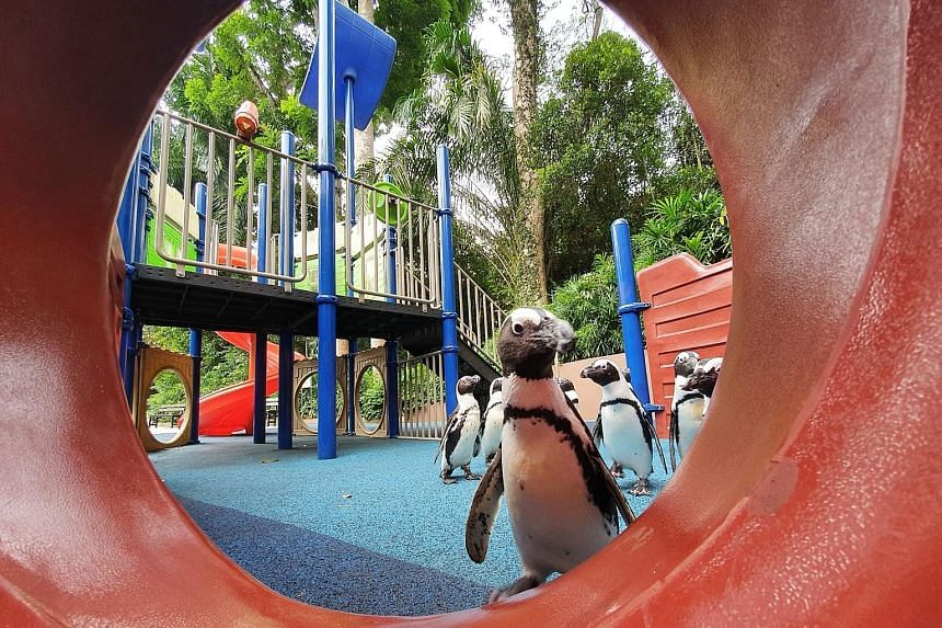 """Singapore Zoo's African penguins taking a morning walk at a children's playground. Enrichment activities are designed to be varied to keep them engaged. """"We hope to take this opportunity to bring the welfare of the animals to another level,"""" said WRS"""
