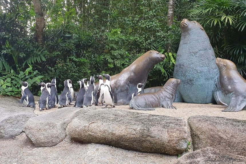 The penguins wandering around sea lion statues (above) and the orang utan island (right). The excursion happens two to three times a week and is limited to 20 minutes.