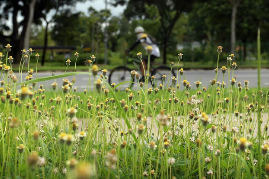 A cyclist, nearly hidden by overgrown grass by the roadside, passes along the Seletar Aerospace Drive on May 19, 2020.