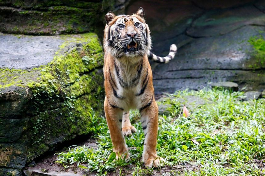 Fitri, a 19-year-old Sumatran tiger, is seen in Bandung Zoo during the Covid-19 outbreak in Bandung, Indonesia, on May 18, 2020.