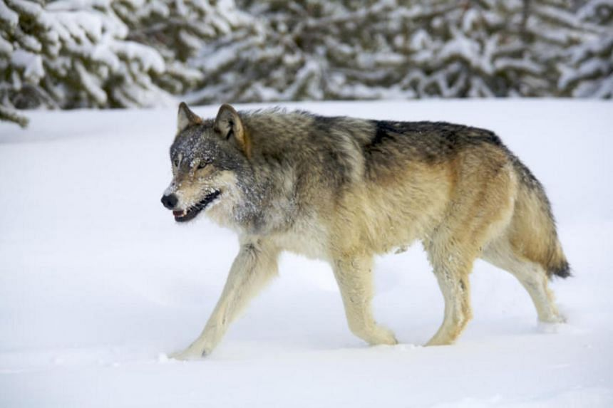 Wolves were controversially reintroduced in 1995 in Yellowstone National Park in Wyoming, north of Colorado.
