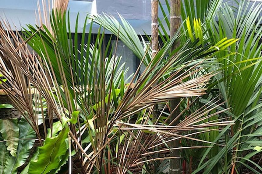 Palm may be affected by a fungal disease.