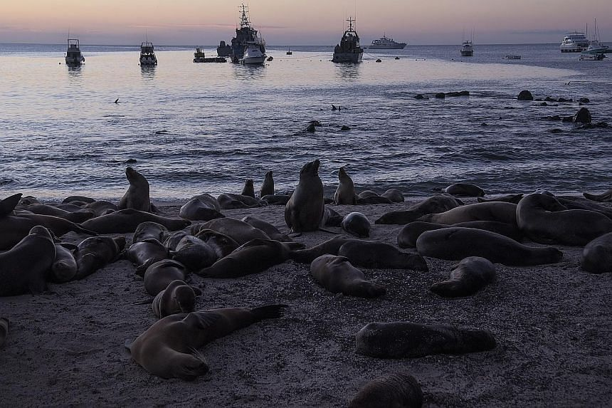 Sea lions on a beach in San Cristobal on the Galapagos Islands. Nature is thriving during the lockdown, with no tour cruises and little activity, and there is a proposal to give the Galapagos a week of rest every year.