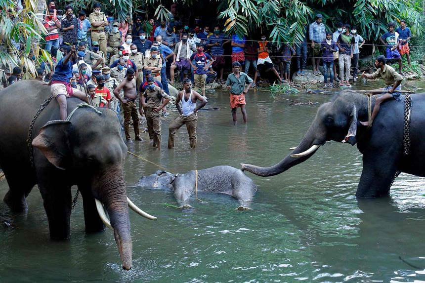 An elephant is seen lying in the water after eating some fruit containing a firecracker in Kerala, India, on May 27, 2020.