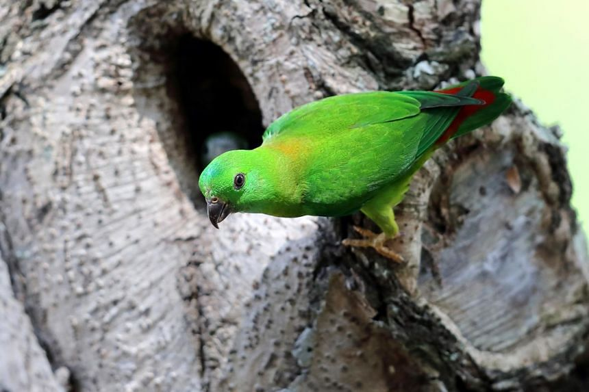 The blue-crowned hanging parrot.
