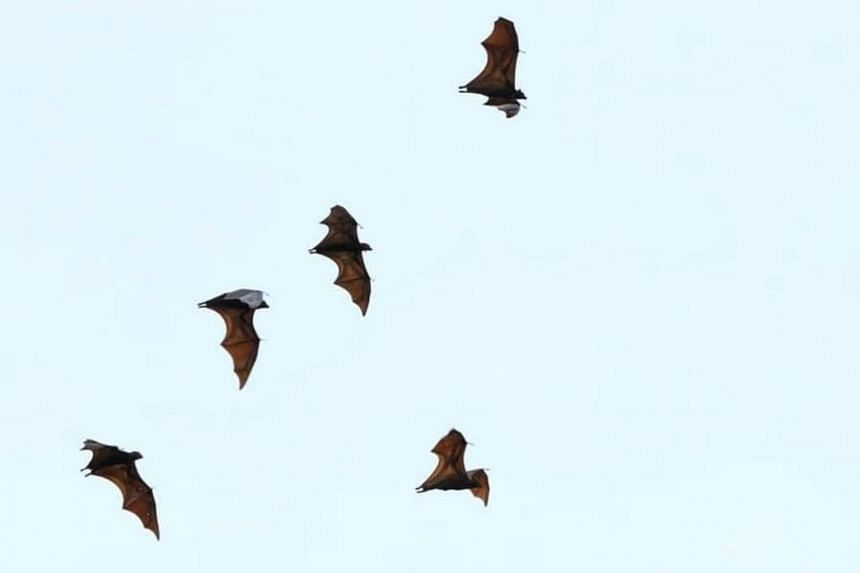 The large flying fox is one of 28 species of bats in Singapore.