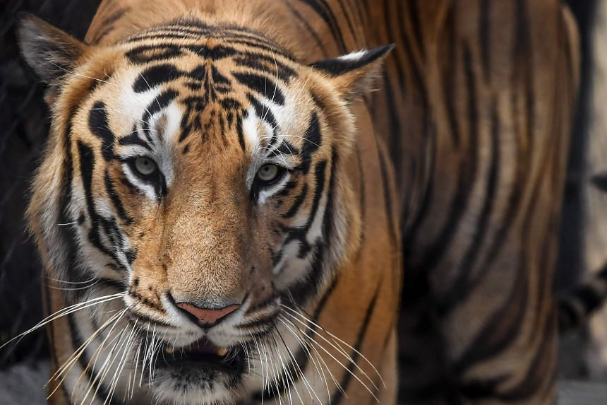Nearly 225 people were killed in tiger attacks in India between 2014 and 2019, according to government figures.