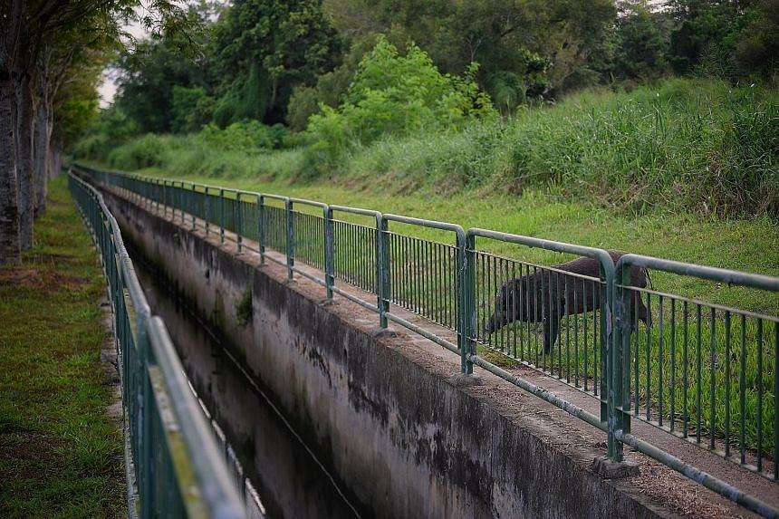 This wild boar was seen in Pasir Ris Coast Industrial Park 6 on Thursday evening. Wild boars are native to Singapore and are now spotted all over the island as ideal foraging habitats and the lack of natural predators contribute to their population g