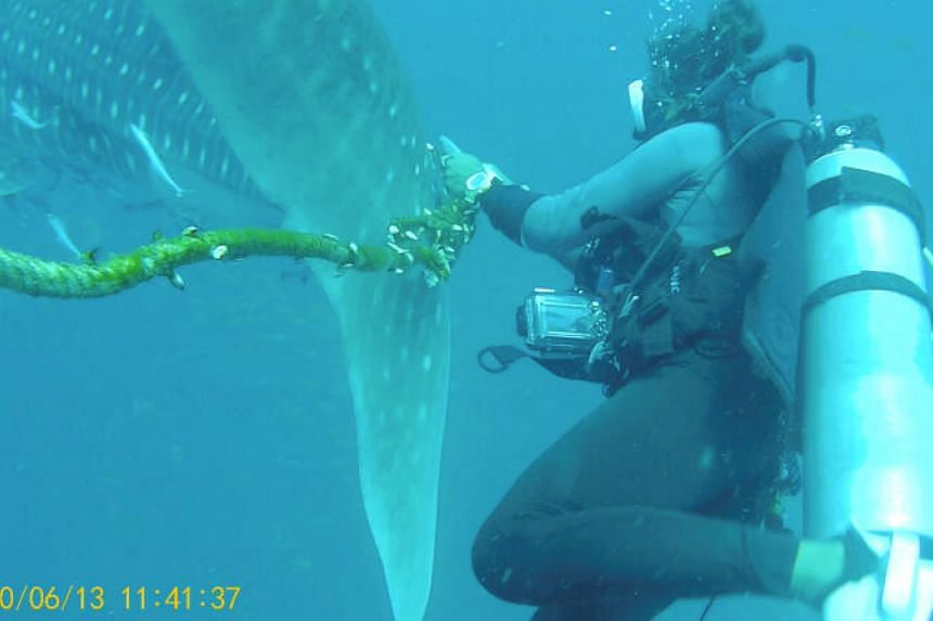 A diver tries to cut a rope from the tail of a whale shark near Koh Tao Island, Thailand, on June 13, 2020.