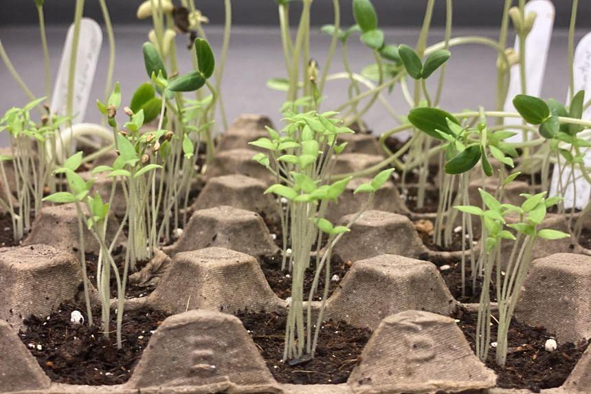 Rows of seedlings grown in an egg tray.