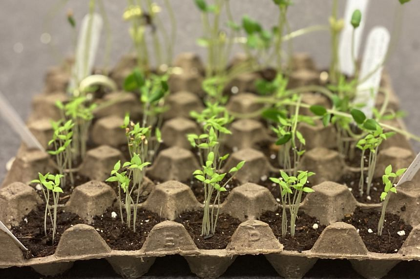 Under the Gardening with Edibles initiative, NParks will distribute free packets of seeds with instructions. Seeds can be planted in egg trays to be developed into seedlings (above) before being transplanted into pots.