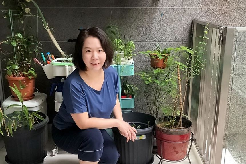 """Ms Jennifer Yong, who started growing herbs and edibles such as Thai basil, bok choy and pea shoots on her patio last year, says: """"Growing edibles at home is fulfilling because it is your own fruit of labour, and you know what you put in the soil. Th"""