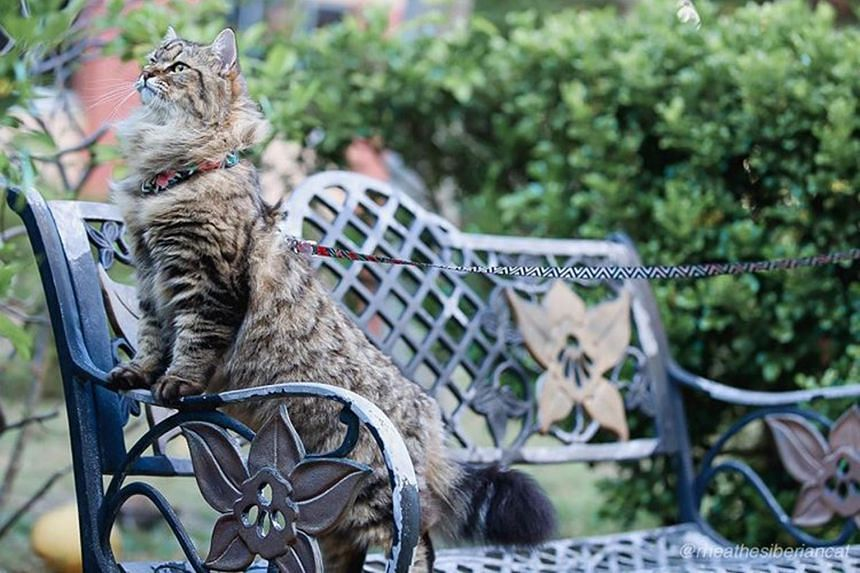 Rhea, a one-year-old Siberian cat kept by Ernieza Zailani and her husband Nazeer Hussin.