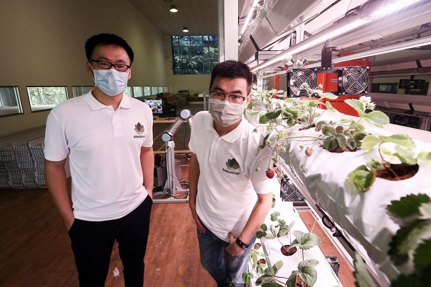 Co-founders, Dr Bao Shengjie (left) and Mr Xu Tao, of home-grown start-up Singrow developed an indoor farm for hydroponic strawberry production.