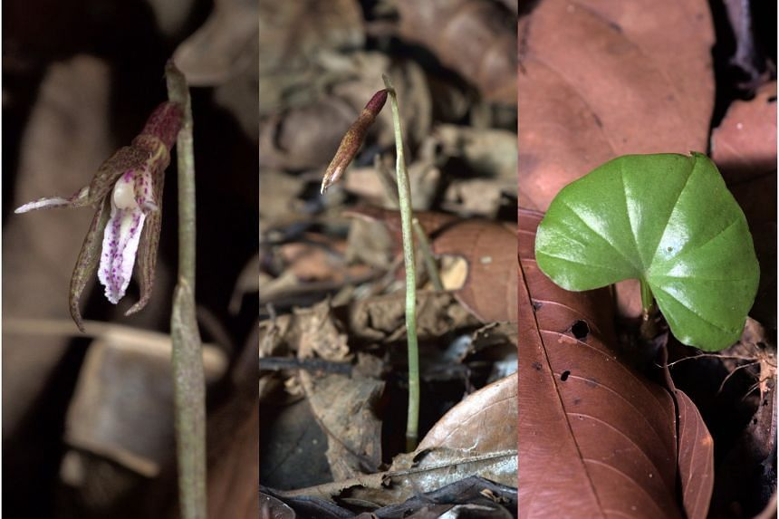 The Nervilia singaporensis with its flower manually opened (left). Its flowers never really open and it self-pollinates in order to reproduce. The orchid, discovered at the Bukit Timah Nature Reserve last July, boasts a unique oblong shape and a trun