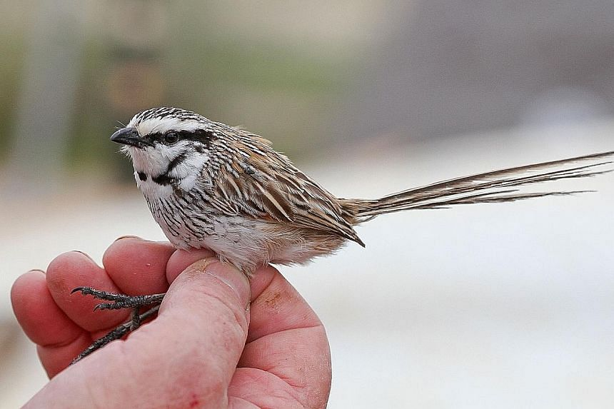 The grey grasswren, an endangered species, can be found in Narriearra Station in north-western New South Wales state. PHOTO: AGENCE FRANCE-PRESSE