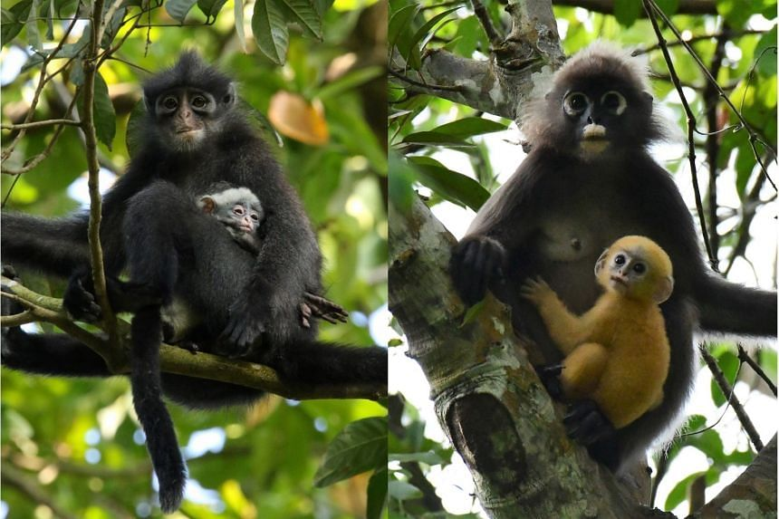 Left: A Raffles' banded langur - which is a species found only in Singapore and southern Peninsular Malaysia - with a white-furred baby. Right: A dusky langur with its orange-furred baby. The white eye rings and white markings around the mouths of du