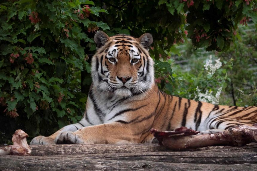 Keeper killed by tiger in Zurich zoo