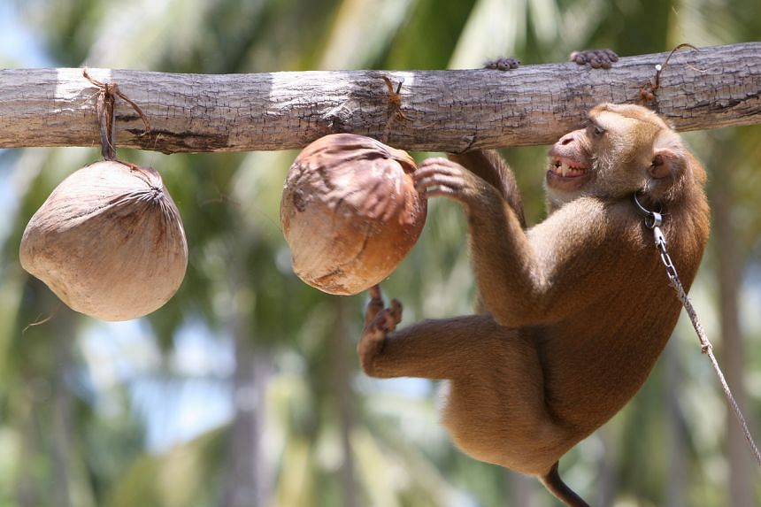 In a photo taken on Aug 9, 2009, a monkey is being trained to harvest coconuts at the Monkey Theatre in Samui Island, Surat Thani province, Thailand.