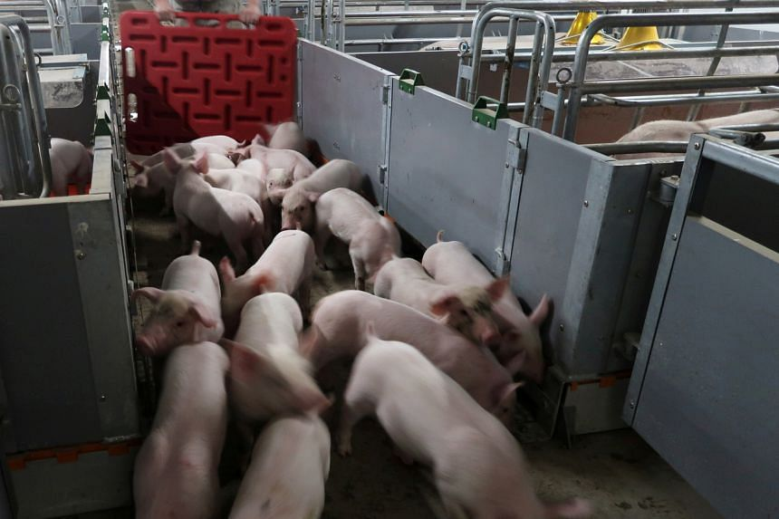 African swine fever is typically fatal for pigs but does not affect people.