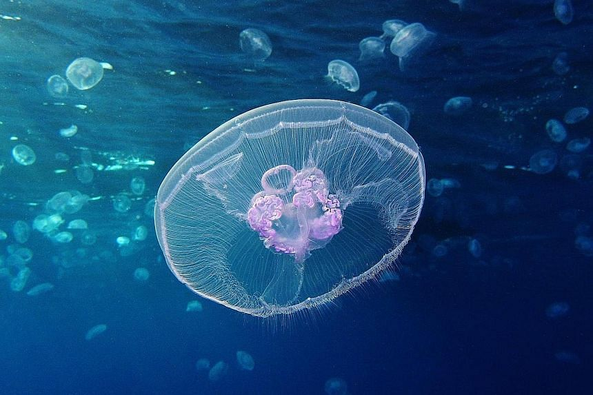Jellyfish are an ancient and successful group of animals. An in-depth look at the genome of the moon jelly, Aurita aurelia, shows that early jellyfish likely repurposed an existing set of genes to transition between polyp and swimming life stages.
