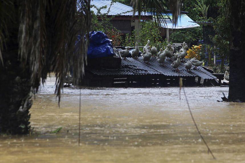 A flock of ducks is seen taking refuge on top of a barn in Kampung Sega Hilir, Negeri Sembilan, on July 13, 2020.