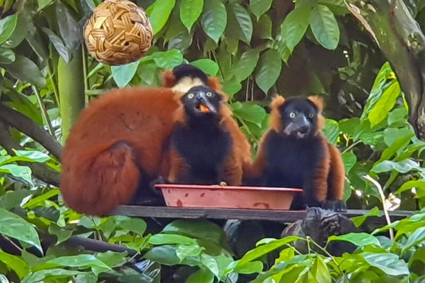 Twin red ruffed lemur babies (above) were born to parents Bosco and Minnie at the Singapore Zoo on Feb 22.