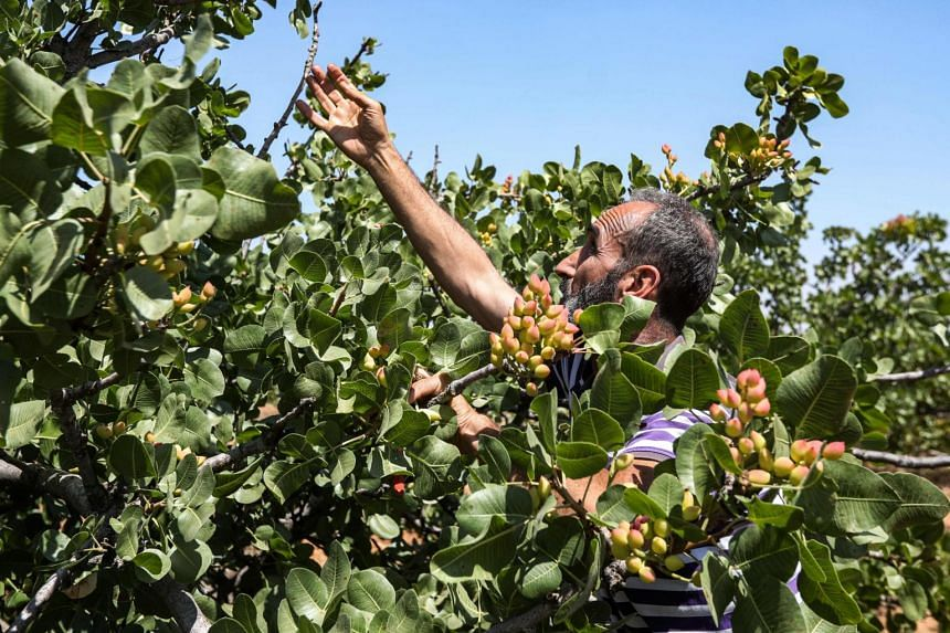 Syria produced up to 80,000 tonnes of pistachios a year before the start of the conflict in 2011.