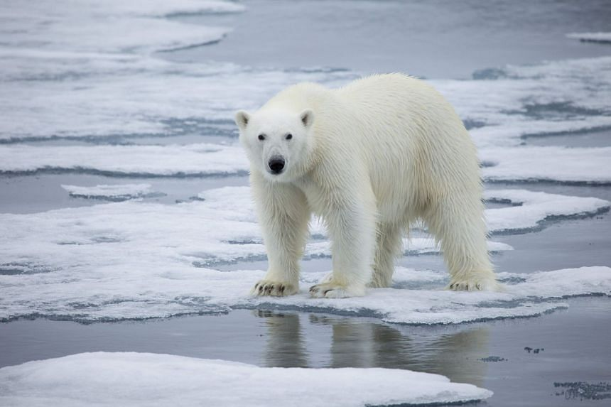 A polar bear standing on melting sea ice in Svalbard, Norway.
