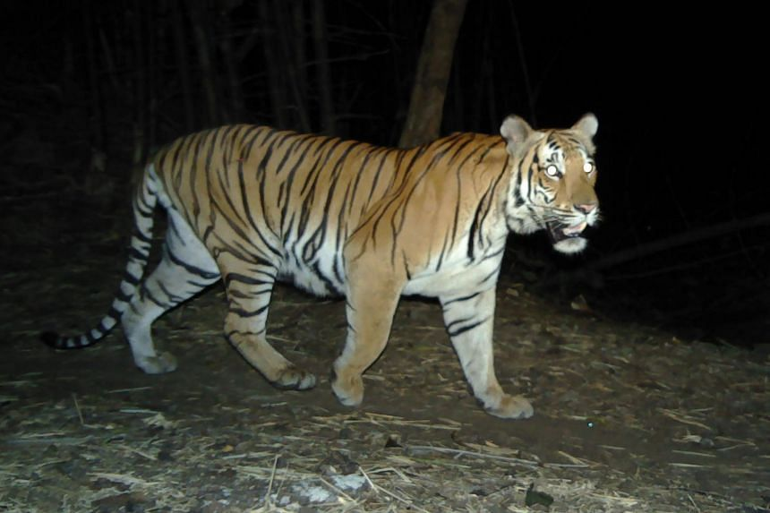 Tigers are still under threat from poaching and habitat destruction.