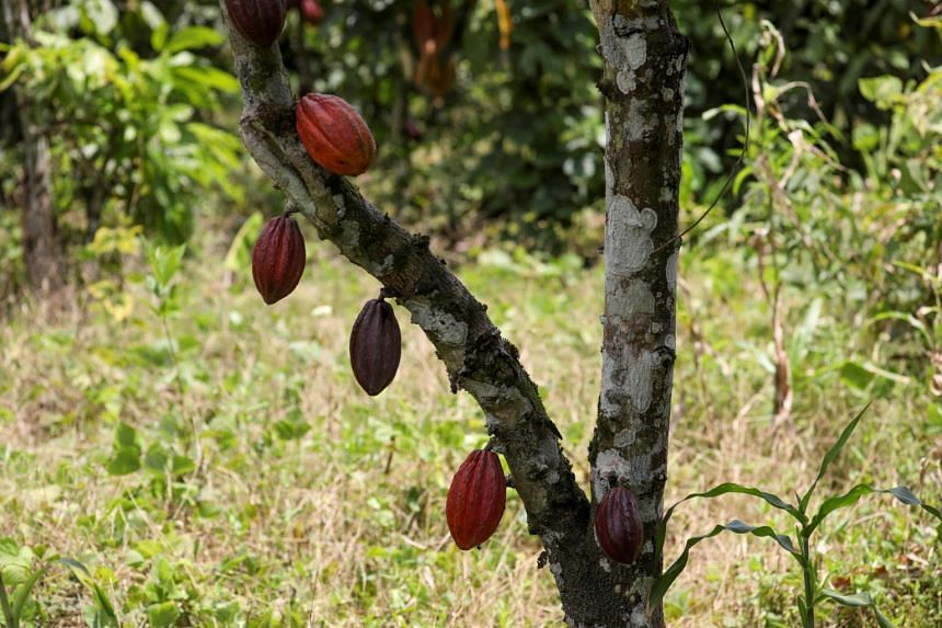 Malaysia may now profit from its cacao beans.