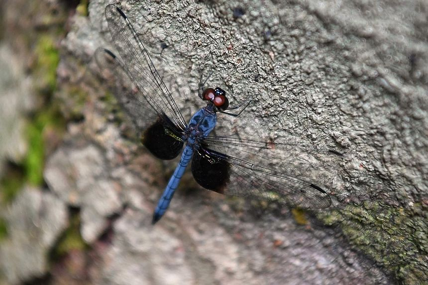 The Lower Peirce Trail is home to wildlife like the chestnut-bellied malkoha and the treehugger dragonfly (above).