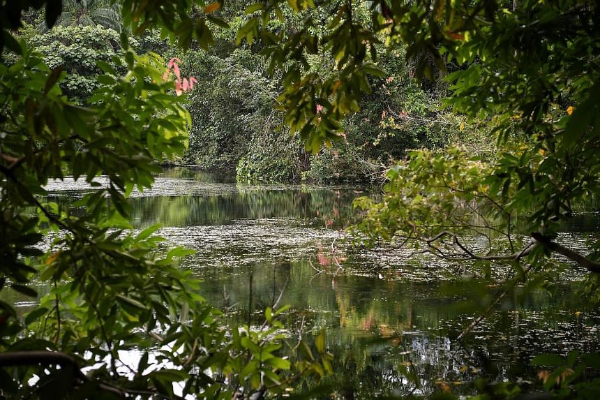 The Lower Peirce Trail (above) is home to wildlife like the chestnut-bellied malkoha and the treehugger dragonfly.