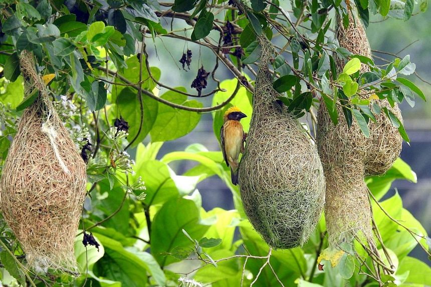 Birds like the baya weaver (above) and the red-breasted parakeet can be seen in Tampines Eco Green.