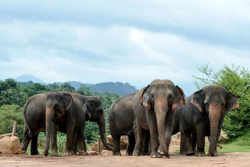 A record 405 elephants were killed by humans in Sri Lanka last year, up from about 360 in 2018.